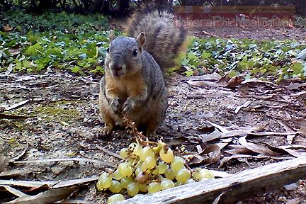 squirrel-grapes